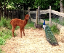 A baby Alpaca meets a peacock for the first time