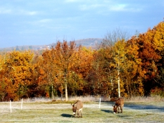 Samson and Delilah grazing behind the house in Autumn