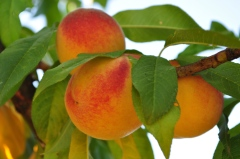 Peaches growing in the orchard