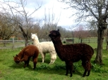 Our Alpacas grazing in the orchard