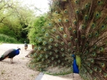 One of our peacocks displaying at the font of the barn